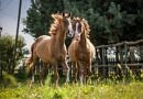 The Myth of the Chestnut Mare