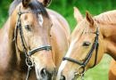 Two horses looking relaxed wearing bridles with snaffle bits and cavesson nosebands.