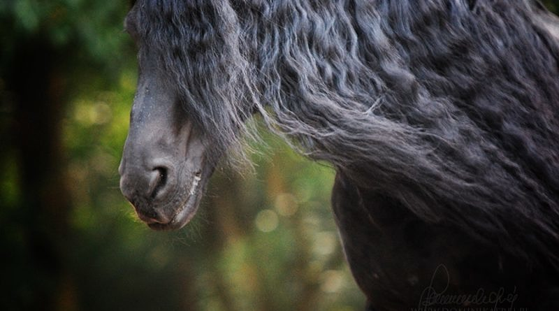 Friesian horse with long mane. Close up of horse head.