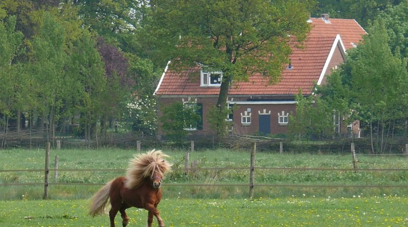 Small chestnut pony in a paddock