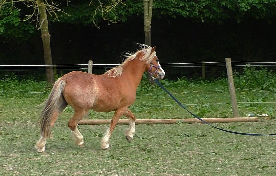 Flaxen chestnut Welsh pony being lunged