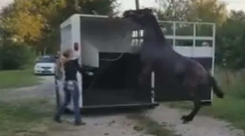 Gril trying to load a horse. She has bad timing and is using excessive force. Horse is rearing. Still taken from a video.
