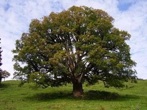 European sycamore tree Acer pseudoplatanus