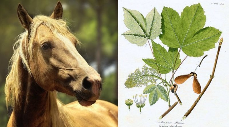Split image of palomino horse head/shoulders and identifying features of Acer pseudoplatanus, the poisonous European sycamore tree