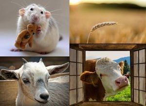 Anthropocene winners: rat, wheat ear, goat, cow