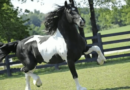 black tobiano Baroque Pinto or Barock Pinto stallion Dream Gait's Bizkit trotting. Photo from USEF archive.