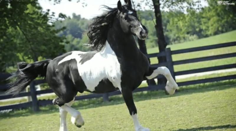black tobiano Baroque Pinto or Barock Pinto stallion Dream Gait's Bizkit trotting. Photo from USEF archive.
