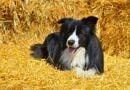 Black and white Border Collie lying on straw