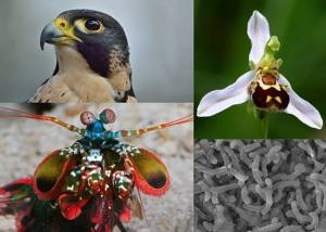 Peregrine falcon, bee orchid, Pelagibacter ubique and mantis shrimp