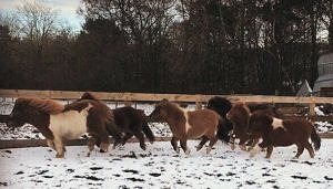 Six ponies in the snow