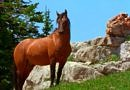 Looking Glass, the Mustang stallion featured in Cloud: Wild Stallion of the Rockies. Bay Mustang standing on slope.