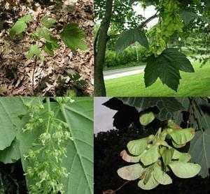 European sycamore Acer pseudoplatanus seedling adult flowers seeds