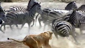 Zebra herd chased by lion