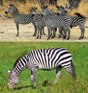 Group of zebras looking tense, and zebra grazing and looking relaxed