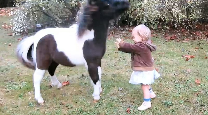 Small tobiano pony startled by toddler