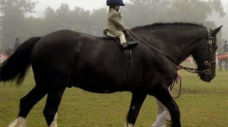 A toddler on a large draft horse