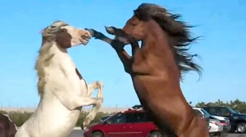 Two wild Chincoteague pony stallions on Assateague island in a parking lot tussling with each other. Still from video.