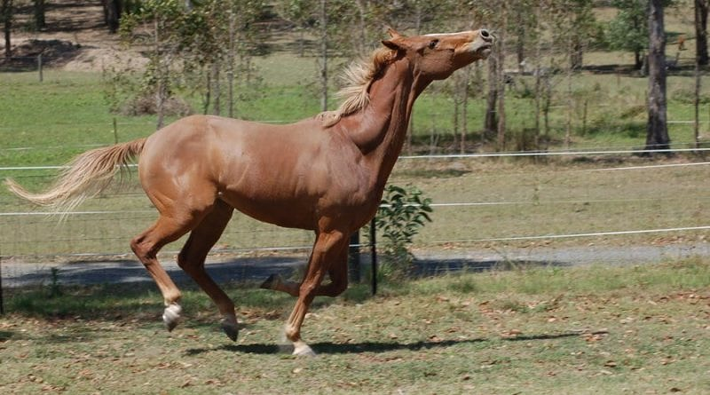 horse throwing head up in air while galloping at liberty