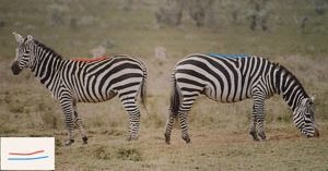 Comparison of zebra back shape when standing versus grazing