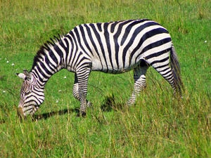 A relaxed grazing zebra