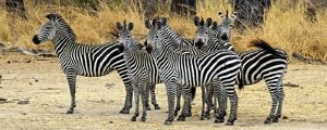 A herd of zebras on the alert