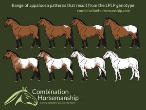 Combination Horsemanship homozygous LP pattern chart