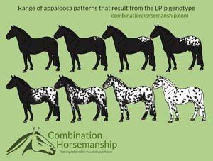 Combination Horsemanship heterozygous LP pattern chart