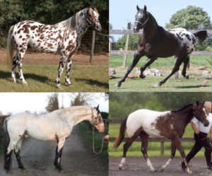 appaloosa patterns