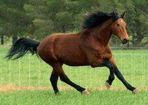 bay horse cantering at liberty