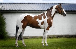 Solaris Buenno bay tobiano Warmblood stallion