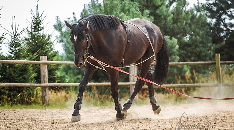 horse being lunged with gadget