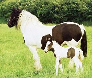 irish cob mare and foal