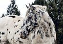 leopard spotted appaloosa pattern horse