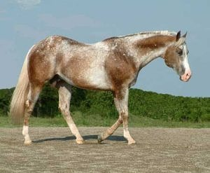 varnish roan appaloosa