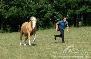 palomino welsh cob canter at liberty