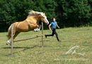 Palomino Welsh Cob jumping at liberty