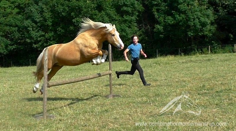 Palomino Welsh Cob jumping at liberty