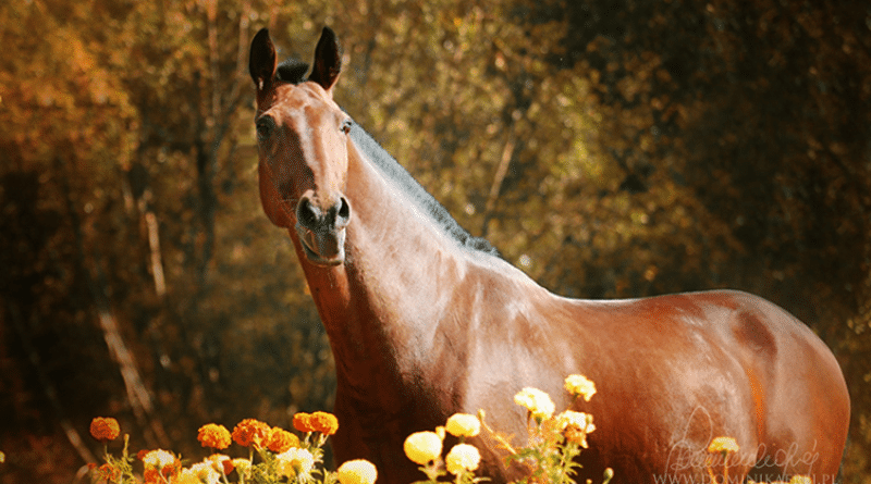 A bay horse with a hogged or roached mane