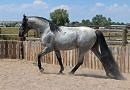 Blue roan Tennessee Walking Horse