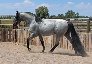 Blue roan Tennessee Walking Horse