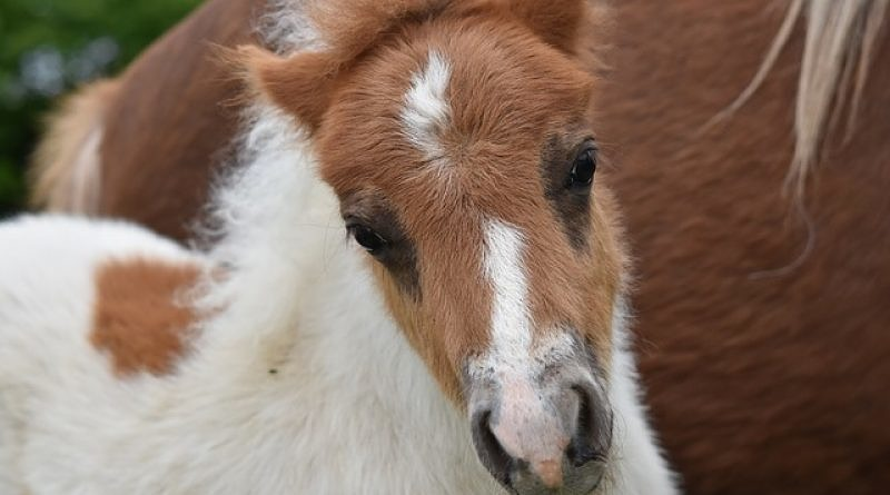 chestnut pony foal with white markings