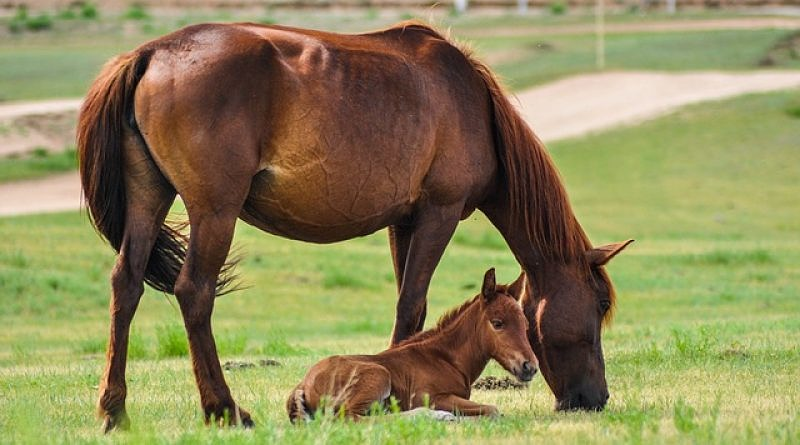 a chestnut mare standing next to her foal