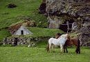 Chestnut tobiano and bay ponies mutually grooming in a green pasture in front of a stone building