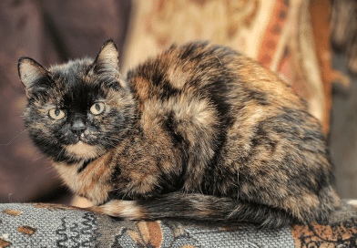 Introduction to Genetics, Case Study 1: Tortoiseshell cat colour
