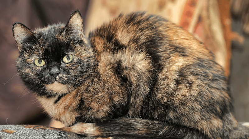 Introduction to Genetics, Case Study 1: Tortoiseshell cat colour