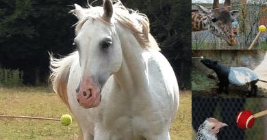 grey Arabian horse target training, tapir, chicken, giraffe