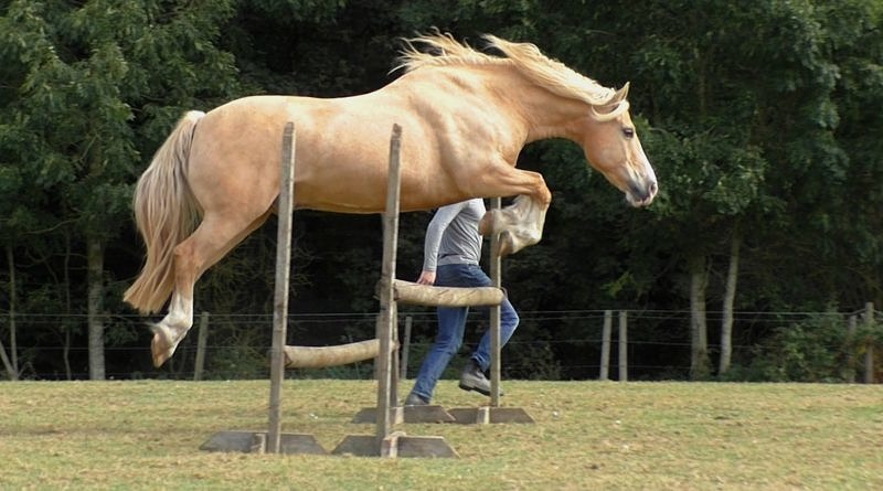 Palomino Welsh Cob Section D liberty jumping oxer