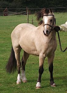a buckskin welsh pony