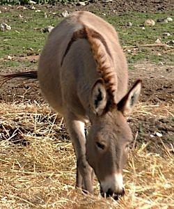 cyprus donkey showing dorsal stripe primitive markings
