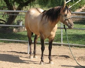 a dun horse